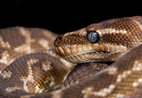 змея сонник